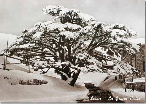 Lebanon - The Grand Cedar - Lebanese poster in Sepia