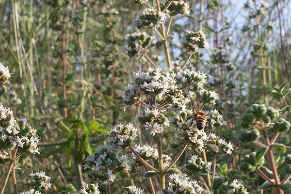 Plant of Thyme Zaatar Bentael